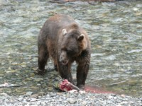 see Brown Bears feeding on spawning salmon on our small ship alaska Inside passage Cruises
