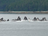 We see cooperative feeding humpback whales on our Alaska Yacht Charter