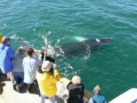 Humpback whales and Orca whales are a main focus of the alaska travel cruises we offer
