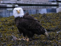 On our Alaska Cruise we'll see Eagles and wildlife galore
