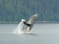 Our focus is Whales, Bears, Glaciers, Fishing and scenery on all our Alaska vacation cruises