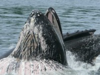 we will see lunge feeding humpback whales on our alaskan tours
