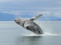 We see Breaching Whales on all our Alaska Cruises