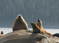 We'll stop and see sea lion rookeries on our alaskan Cruise