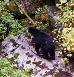 Alaska inside Passage cruises from Ketchikan to Juneau include Bear Viewing at Anan Creek